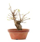 Acer buergerianum, 16,5 cm, ± 35 jaar oud