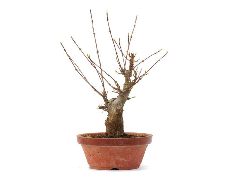 Acer buergerianum, 22 cm, ± 35 jaar oud