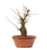 Acer buergerianum, 17 cm, ± 35 jaar oud