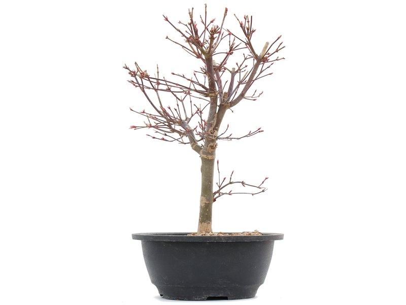 Acer palmatum Deshojo, 30,5 cm, ± 10 jaar oud