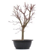 Acer palmatum Deshojo, 34 cm, ± 10 jaar oud