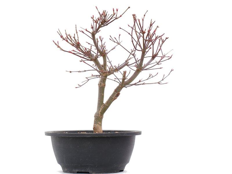 Acer palmatum Deshojo, 25,5 cm, ± 10 jaar oud