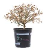 Acer palmatum Kiyohime, 22,5 cm, ± 10 jaar oud