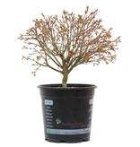 Acer palmatum Kiyohime, 21,5 cm, ± 10 jaar oud