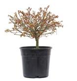 Acer palmatum Kiyohime, 20,5 cm, ± 10 jaar oud