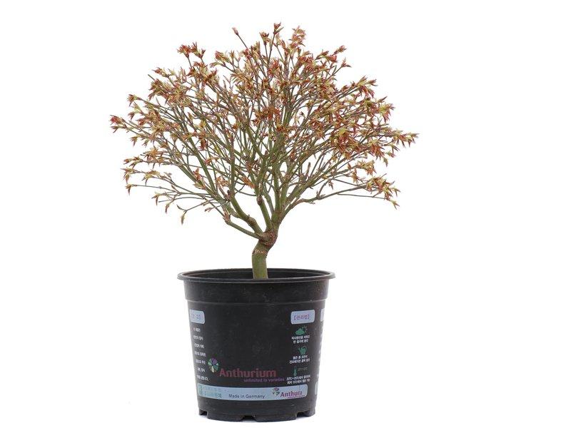Acer palmatum Kiyohime, 27 cm, ± 10 jaar oud