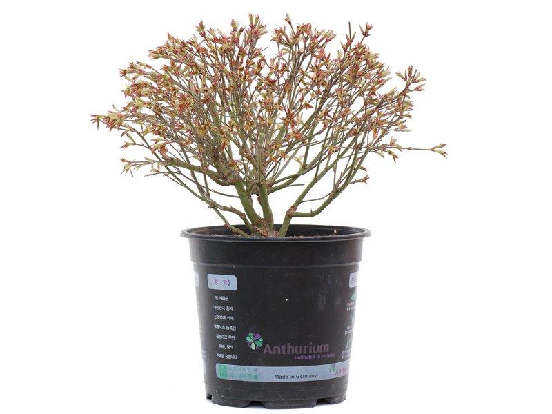 Acer palmatum Kiyohime, 19,5 cm, ± 10 jaar oud