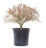 Acer palmatum Kiyohime, 24 cm, ± 10 jaar oud