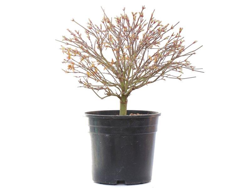 Acer palmatum Kiyohime, 23,5 cm, ± 10 jaar oud