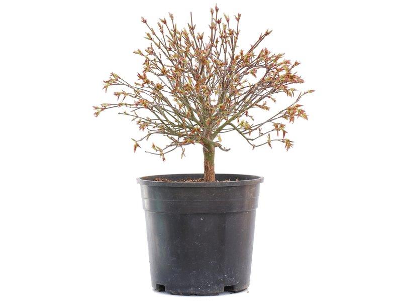 Acer palmatum Kiyohime, 22 cm, ± 10 jaar oud