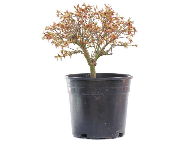 Acer palmatum Kiyohime, 18,5 cm, ± 10 jaar oud