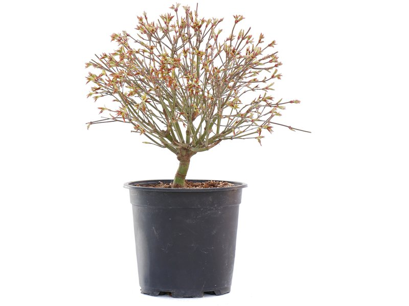Acer palmatum Kiyohime, 24,5 cm, ± 10 jaar oud
