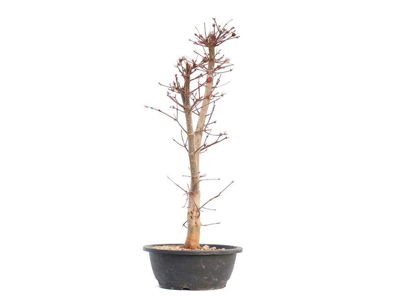 Acer palmatum Deshojo, 55,5 cm, ± 12 jaar oud