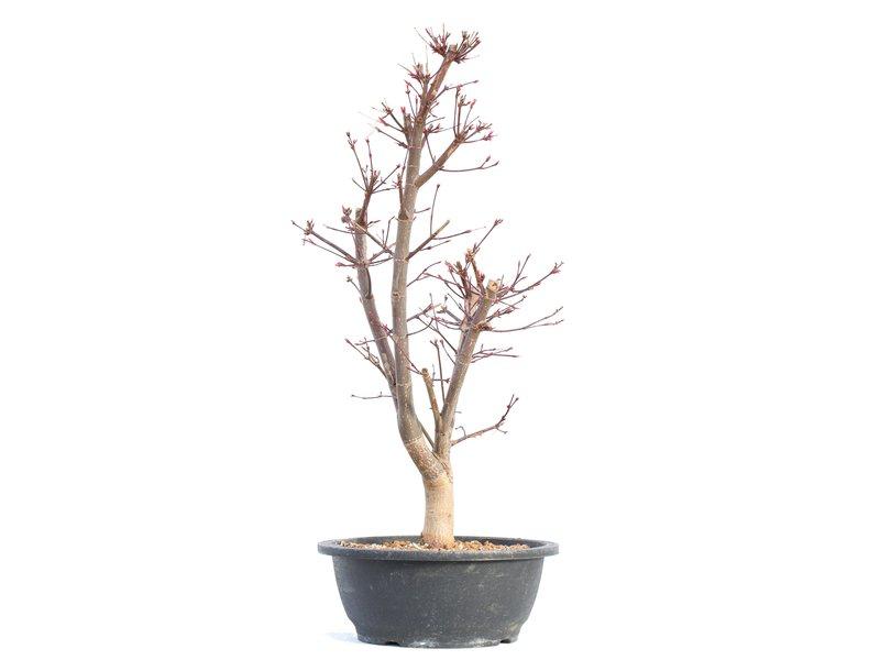 Acer palmatum Deshojo, 50,5 cm, ± 12 jaar oud