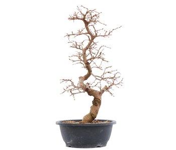 Carpinus coreana, 44,5 cm, ± 14 years old