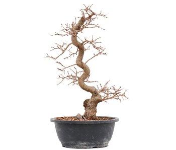 Carpinus coreana, 40 cm, ± 14 years old