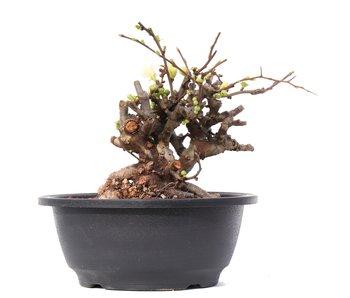 Chaenomeles speciosa, 14,5 cm, ± 35 jaar oud