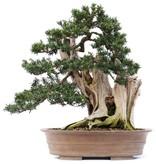 Taxus cuspidata Yamadori, 56 cm, ± 80 jaar oud, met mooie jin en shari