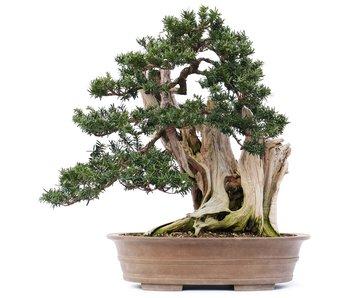 Taxus cuspidata Yamadori, 56 cm, ± 80 jaar oud