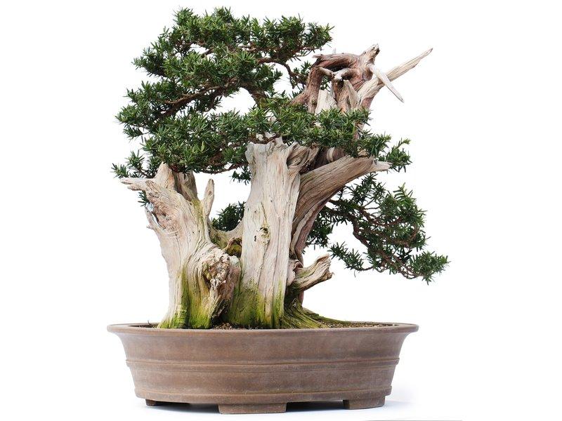 Taxus cuspidata Yamadori, 56 cm, ± 80 years old, with beautiful jin and shari