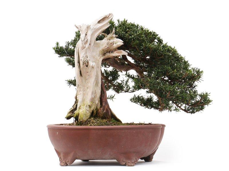 Taxus cuspidata Yamadori, 44 cm, ± 40 years old, with beautiful jin and shari