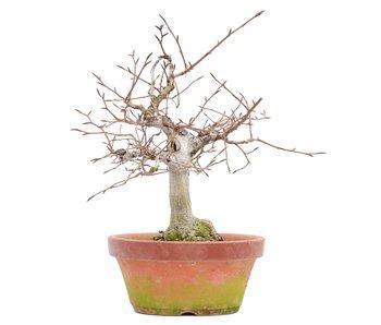 Fagus crenata, 28,5 cm, ± 35 jaar oud