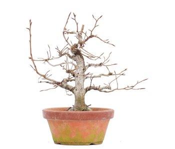 Fagus crenata, 27,5 cm, ± 35 jaar oud