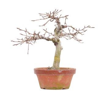Fagus crenata, 27 cm, ± 35 jaar oud