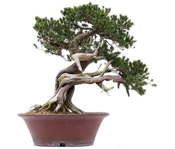 Taxus cuspidata Yamadori, 61 cm, ± 55 años