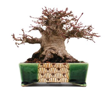 Acer palmatum, 12,7 cm, ± 40 years old