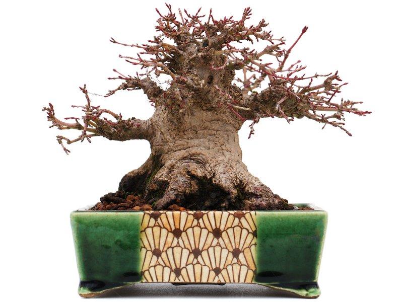 Acer palmatum, 12,7 cm, ± 40 jaar oud, in een pot van Satomi Terahata met een chip van één voet