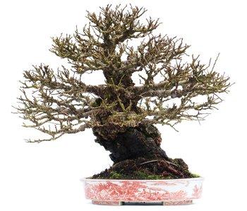 Ulmus parvifolia Nire, 23,8 cm, ± 40 jaar oud