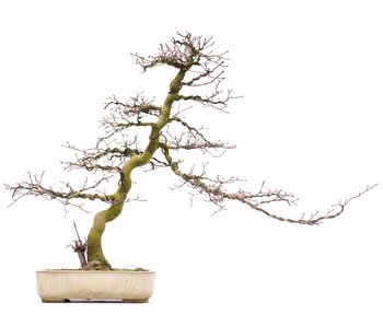 Acer palmatum, 46,5 cm, ± 25 years old