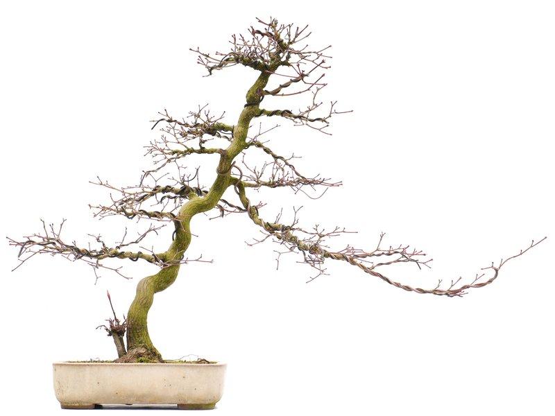 Acer palmatum, 46,5 cm, ± 25 jaar oud, in een handgemaakte Japanse pot van Yamaaki met een klein scheurtje