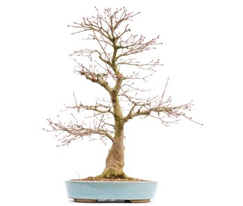 Acer palmatum, 59,5 cm, ± 30 jaar oud