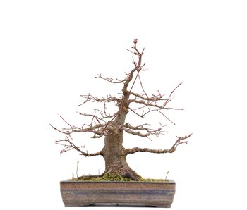 Acer palmatum, 38,5 cm, ± 25 jaar oud