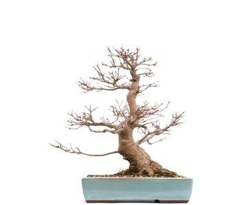 Acer palmatum, 40 cm, ± 30 jaar oud