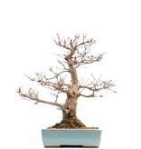 Acer palmatum, 40 cm, ± 30 jaar oud, in een handgemaakte Japanse pot van Taizan met een barst