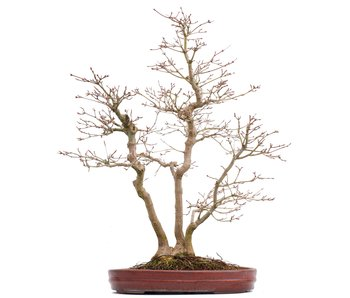 Acer palmatum, 58 cm, ± 25 years old