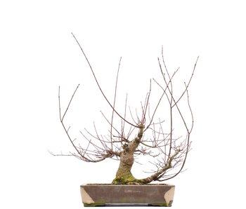 Acer palmatum, 55,5 cm, ± 22 jaar oud
