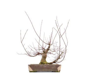 Acer palmatum, 55,5 cm, ± 22 years old