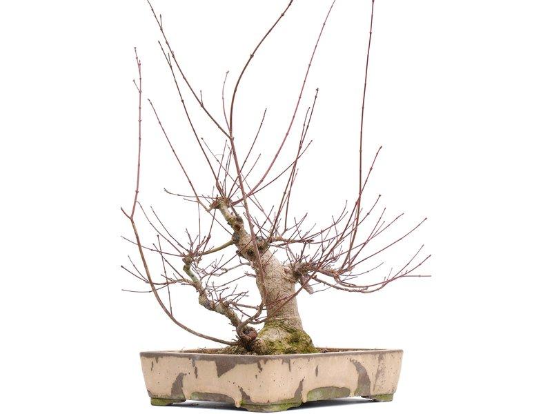 Acer palmatum, 55,5 cm, ± 22 jaar oud, met een mooie nebari in een handgemaakte Japanse pot van Yamaaki