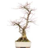 Acer palmatum, 55,5 cm, ± 25 jaar oud