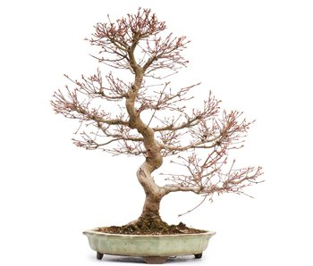 Acer palmatum, 56,5 cm, ± 25 years old