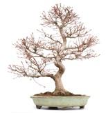 Acer palmatum, 56,5 cm, ± 25 jaar oud, in een handgemaakte Japanse pot met gebroken voet