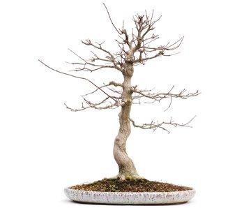 Acer palmatum, 61 cm, ± 25 jaar oud