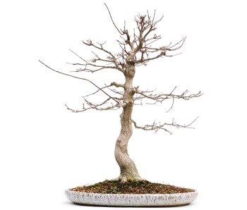 Acer palmatum, 61 cm, ± 25 years old