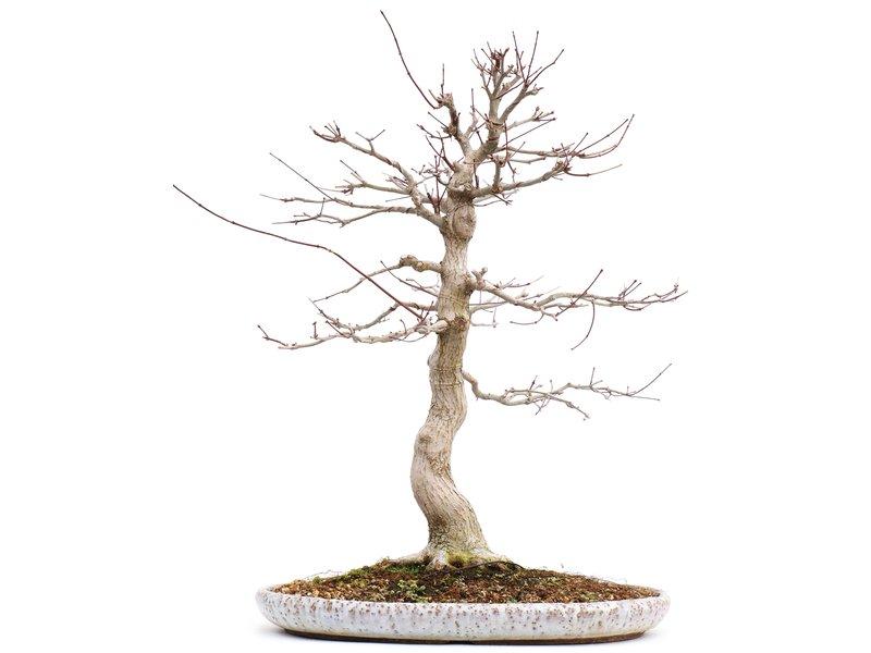 Acer palmatum, 61 cm, ± 25 jaar oud, in Japanse pot