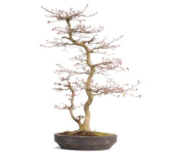 Acer palmatum, 58,5 cm, ± 22 years old