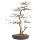 Acer palmatum, 58,5 cm, ± 22 jaar oud, in een handgemaakte Japanse pot van Reiho met een barst, in een moeder-dochter samenstelling